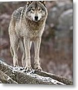 Timber Wolf Pictures 495 Metal Print