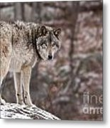 Timber Wolf Pictures 498 Metal Print