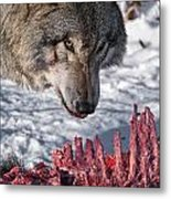 Timber Wolf Pictures 552 Metal Print