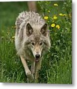 Timber Wolf Pictures 59 Metal Print