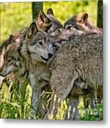 Timber Wolf Pictures 61 Metal Print