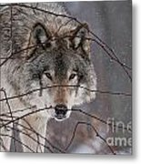 Timber Wolf Pictures 620 Metal Print