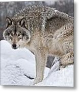 Timber Wolf Pictures 683 Metal Print