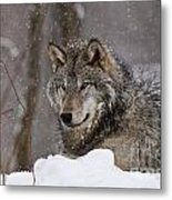 Timber Wolf Pictures 74 Metal Print