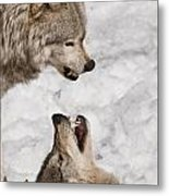 Timber Wolf Pictures 775 Metal Print