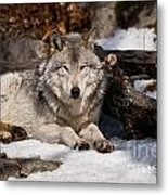 Timber Wolf Pictures 776 Metal Print