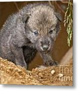 Timber Wolf Pictures 782 Metal Print