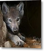 Timber Wolf Pictures 875 Metal Print