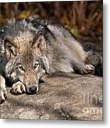 Timber Wolf Pictures 945 Metal Print