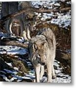 Timber Wolf Pictures 957 Metal Print by World Wildlife Photography