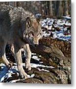 Timber Wolf Pictures 969 Metal Print
