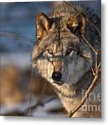 Timber Wolf Pictures 981 Metal Print