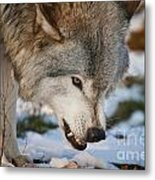 Timber Wolf Pictures 985 Metal Print