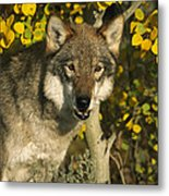 Timber Wolf Teton Valley Idaho Metal Print