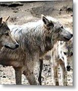 Timber Wolves Metal Print