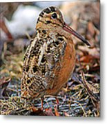 Timberdoodle The American Woodcock Metal Print