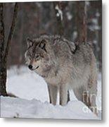 Timberwolf Series 4 Metal Print