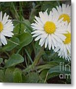 Tiny Daisies Metal Print