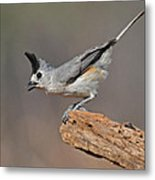Titmouse Preparing For Takeoff Metal Print