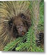 T.kitchin 14107c, Porcupine In Spruce Metal Print