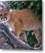 T.kitchin 15274d, Cougar Kitten Metal Print