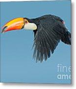Toco Toucan In Flight Metal Print