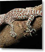 Tokay Gecko In Defensive Display Metal Print