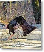 Tom Turkey Walking Metal Print