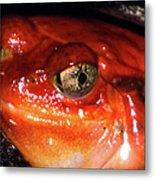 Tomato Frog Metal Print