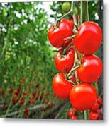 Tomato Greenhouse Metal Print
