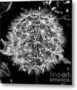 Tooth Of The Lion Metal Print by Scott Allison