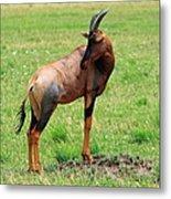 Topi Antelope On The Masai Mara Metal Print