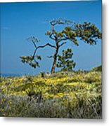 Torrey Pine On The Cliffs At Torrey Pines State Natural Reserve Metal Print