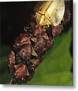 Tortoise Beetle Mother Shields Metal Print