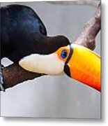 Toucan Ramphastos Toco Sitting On Tree Branch In Tropical Fore Metal Print