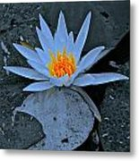 Touch Of Gold In Lily Metal Print