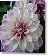 Touch Of Pink Dahlia Metal Print