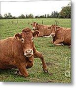 Tough Cows Metal Print