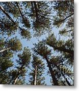 Towering White Pines Metal Print