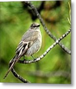 Townsend's Solitaire Metal Print