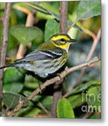 Townsends Warbler In Tree Metal Print