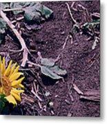 Trampled Sunflower Metal Print