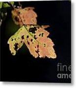 Translucent Maple Leaf Metal Print