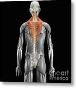 Trapezius Muscle With Skeleton Metal Print