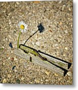 Trapped White Daisy Metal Print