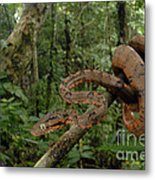 Tree Boa Metal Print by Francesco Tomasinelli