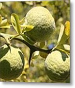 Tree Fruit Metal Print