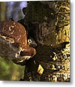 Tree Fungus  Metal Print