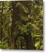 Tree Redwood Ca 7 Metal Print