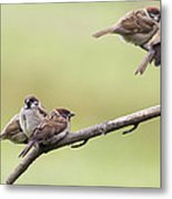 Tree Sparrows Metal Print